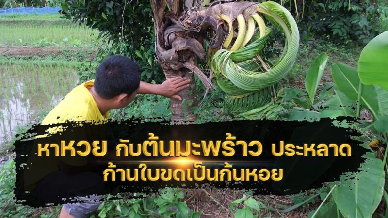 หาหวย กับต้นมะพร้าวประหลาด ก้านใบขดเป็นก้นหอย